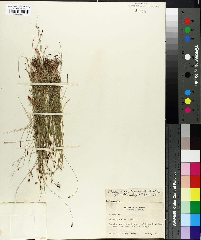 Eleocharis acuta image