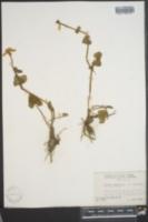 Caltha palustris subsp. arctica image
