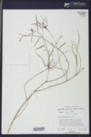 Image of Euphorbia pinetorum