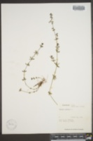 Galium mollugo image