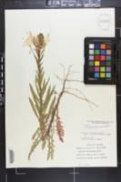 Oenothera heterophylla image