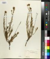 Eastwoodia elegans image