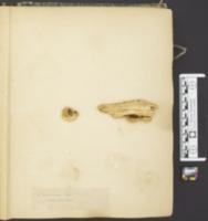 Panus foetens image