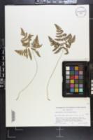 Image of Gymnocarpium x brittonianum