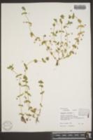 Anagallis arvensis image