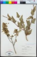 Llagunoa glandulosa image