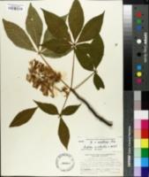 Aesculus x arnoldiana image