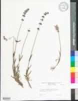 Image of Salvia aegyptiaca