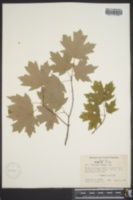 Acer barbatum image