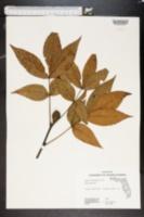 Carya floridana image