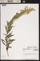Solidago altissima var. altissima image