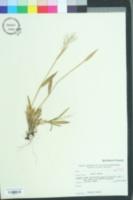 Image of Dichanthelium strigosum