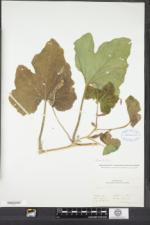Cucurbita maxima image