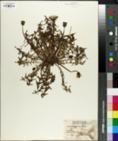 Image of Taraxacum tortilobum