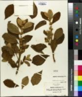 Image of Aegiphila verticillata
