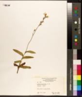 Image of Goodenia stelligera