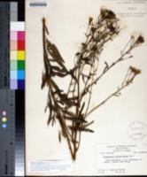 Image of Palafoxia integrifolia