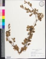 Image of Viburnum obovatum