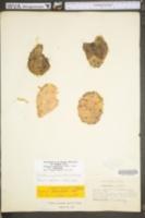 Opuntia humifusa image