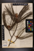 Pinus wallichiana image
