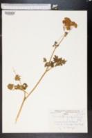 Image of Thalictrum aquilegifolium