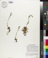 Arabis ciliata image