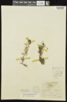 Ranunculus trichophyllus var. trichophyllus image