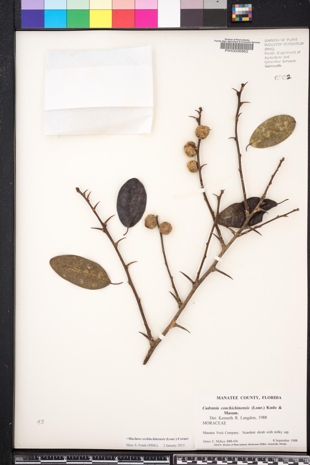 Maclura cochinchinensis image