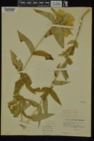 Gentiana alba image