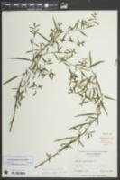 Ludwigia sphaerocarpa image