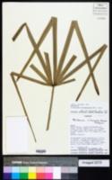 Image of Trithrinax biflabellata