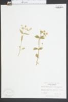 Stellaria tennesseensis image