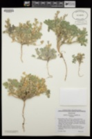 Lupinus concinnus image