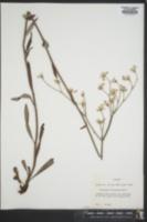 Image of Eriogonum floridanum