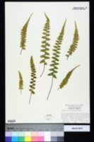 Image of Asplenium x kentuckiense