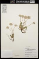 Image of Calyptridium paniculatum