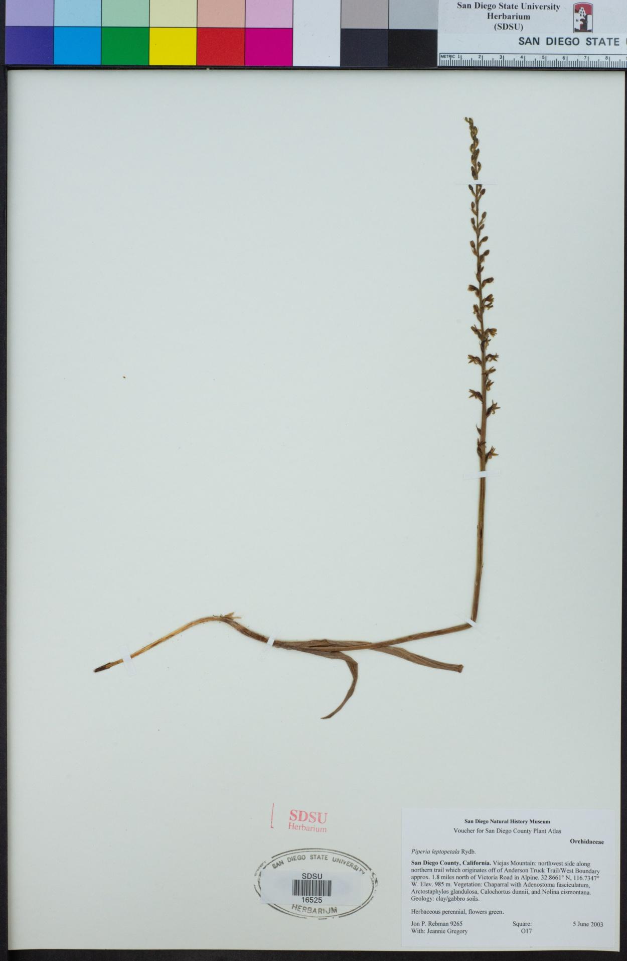 Piperia leptopetala image