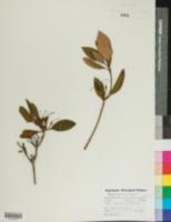 Rhododendron carolinianum image