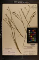 Image of Sisyrinchium ensigerum
