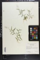 Image of Panicum ensifolium