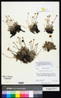 Eriogonum lewisii image