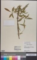 Image of Fraxinus berlandieriana