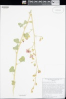 Sphaeralcea ambigua image