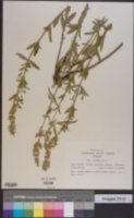 Stachys recta image