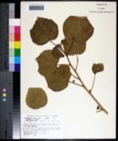Hibiscus arnhemensis image