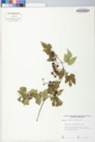 Image of Ampelopsis humulifolia