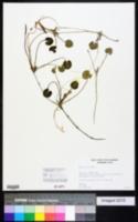 Hydrocharis morsus-ranae image