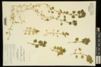 Image of Stellaria neglecta