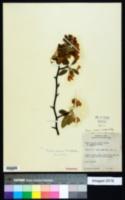 Malus ioensis var. ioensis image