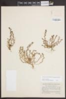 Triphysaria pusilla image
